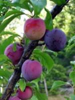 sants rosa plum1